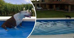 Agile Vierbeiner machte heroische Anstrengungen zu Unternehmen, um die blinden pit bull von ein Schwimmbad, um es zu speichern