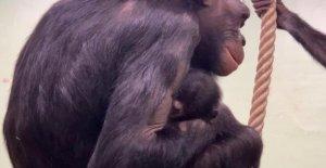 In Fall müssen Sie Sie Feiern nieuwjaarsbaby geboren wurde bonobos